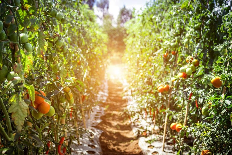 an orchard, in the sunrise, all organically grown