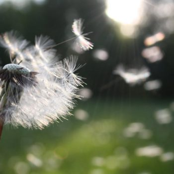 dandelion seeds blowing through the air